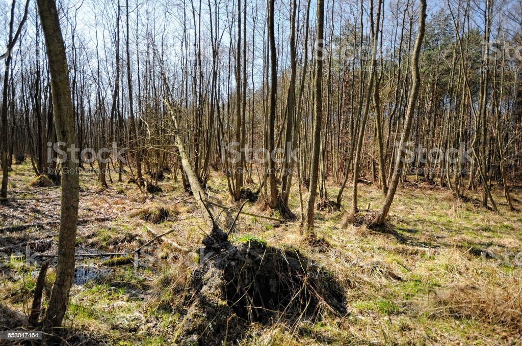 Swamp forest at Baltic sea Landscape (Darsser Ort - Germany) stock photo