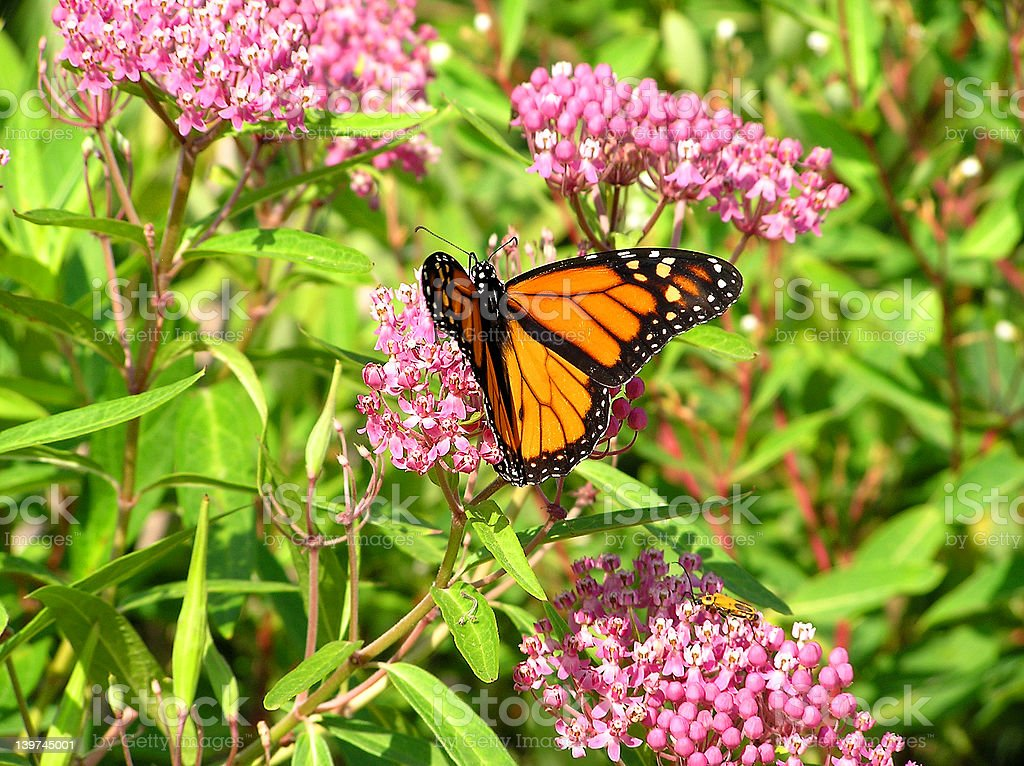 Swamp Milkweed and Monarch stock photo