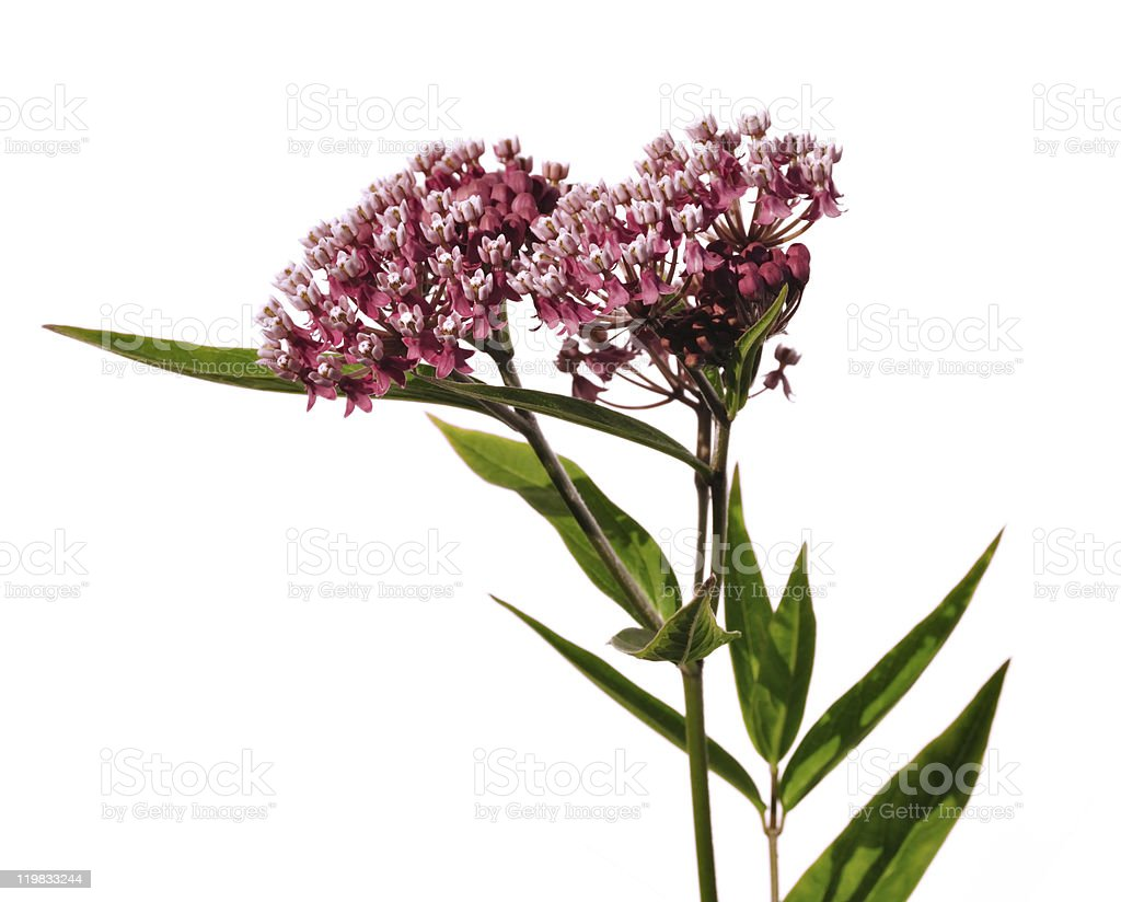 Swamp Milkweed Wildflower in white background stock photo