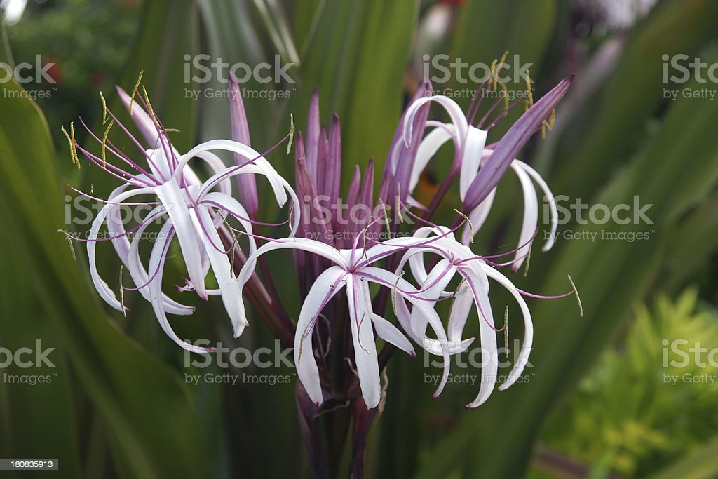 Swamp or Spider lily (Crinum pedunculatum) stock photo