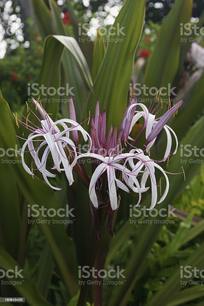 Swamp or Spider lily (Crinum pedunculatum) Vertical stock photo
