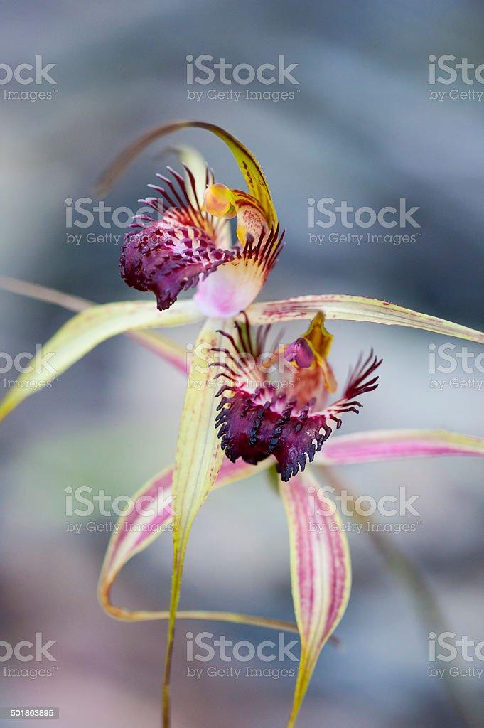 Swamp Spider Orchid, Caladenia paludosa, Wildflower Orchidaceae Westen Australia stock photo