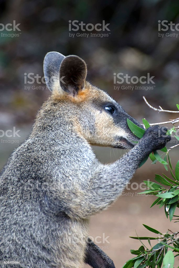 Swamp Wallaby getting leaves to eat stock photo