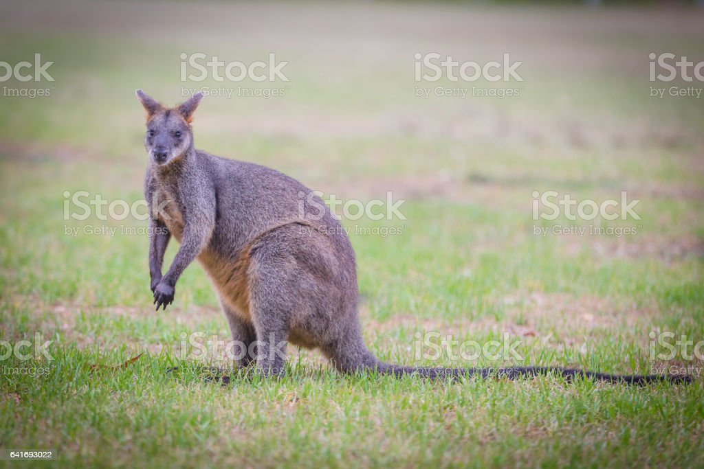 swamp wallaby grass 2 stock photo