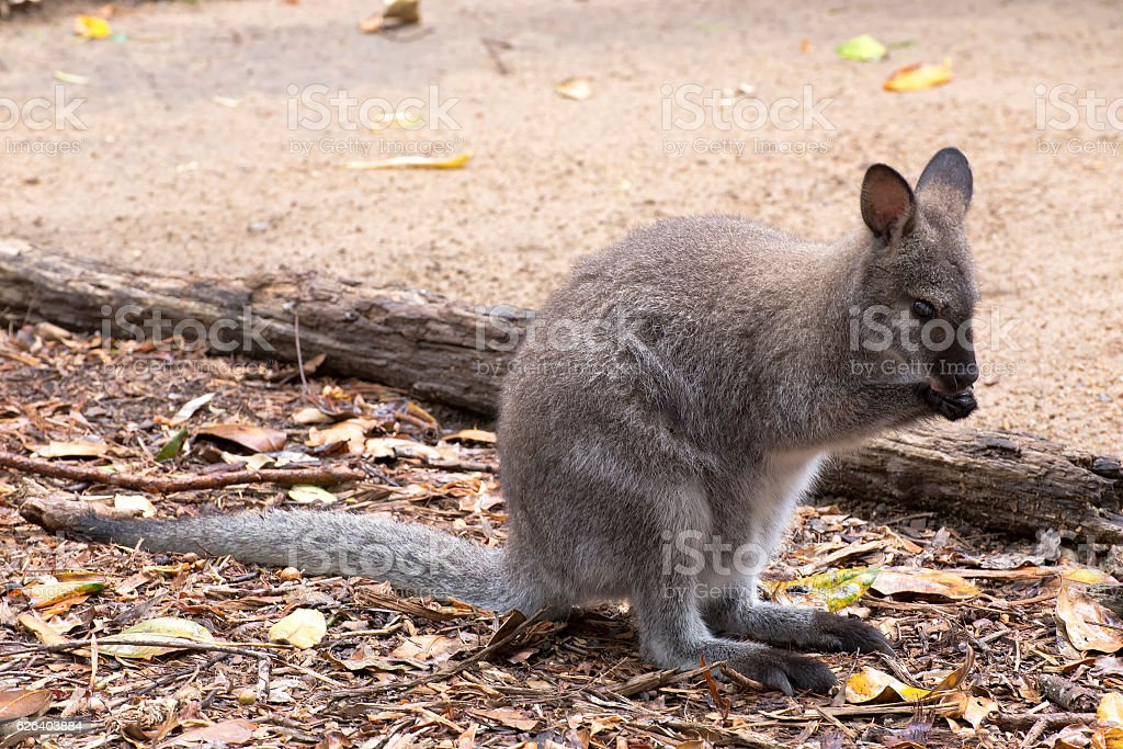 Swamp Wallaby licking paws to cool down stock photo