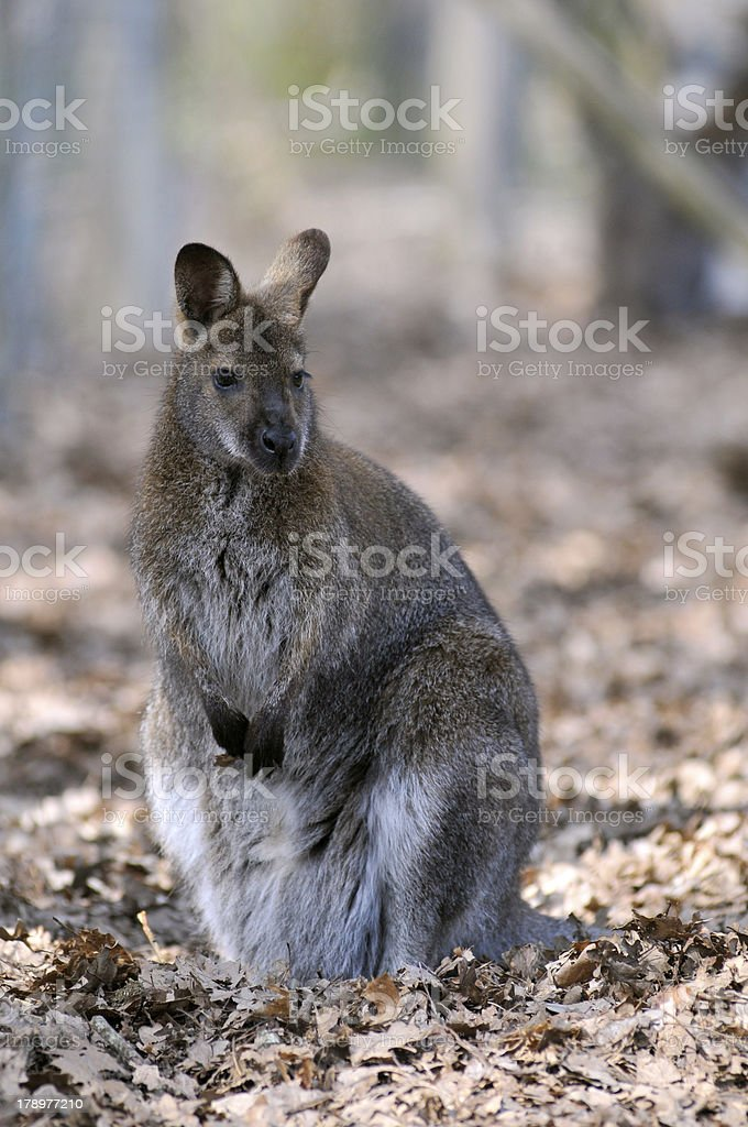 Swamp wallaby on dead leaves stock photo
