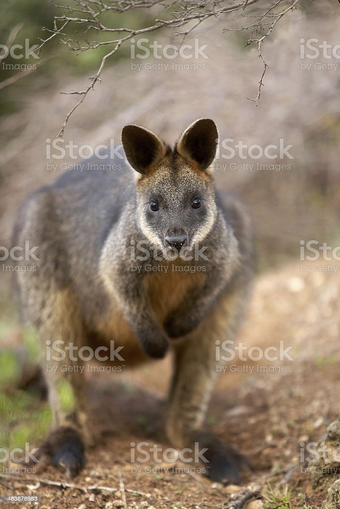 Swamp wallaby stock photo