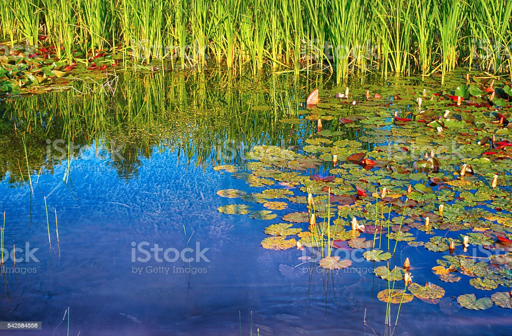 Swamp water royalty-free stock photo