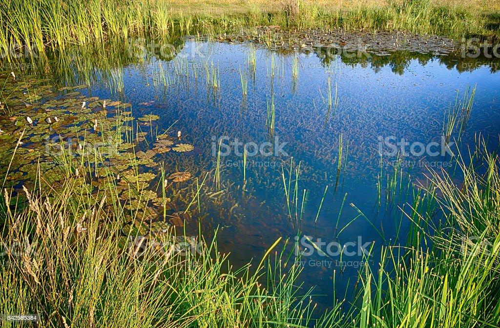 Swamp water royalty-free stock photo