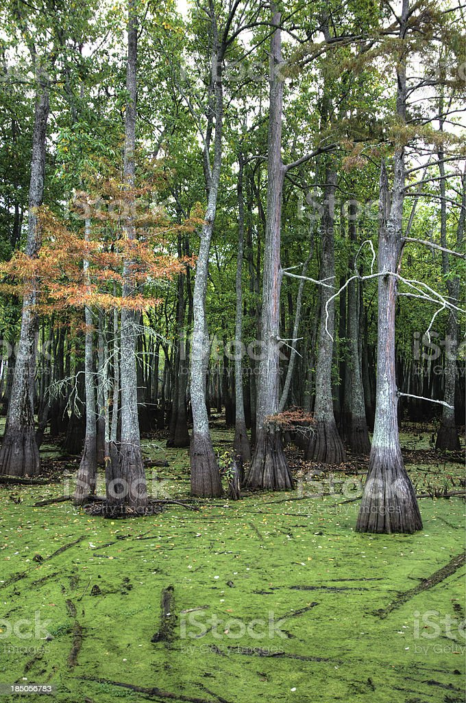 Swamp With Cypress Trees royalty-free stock photo