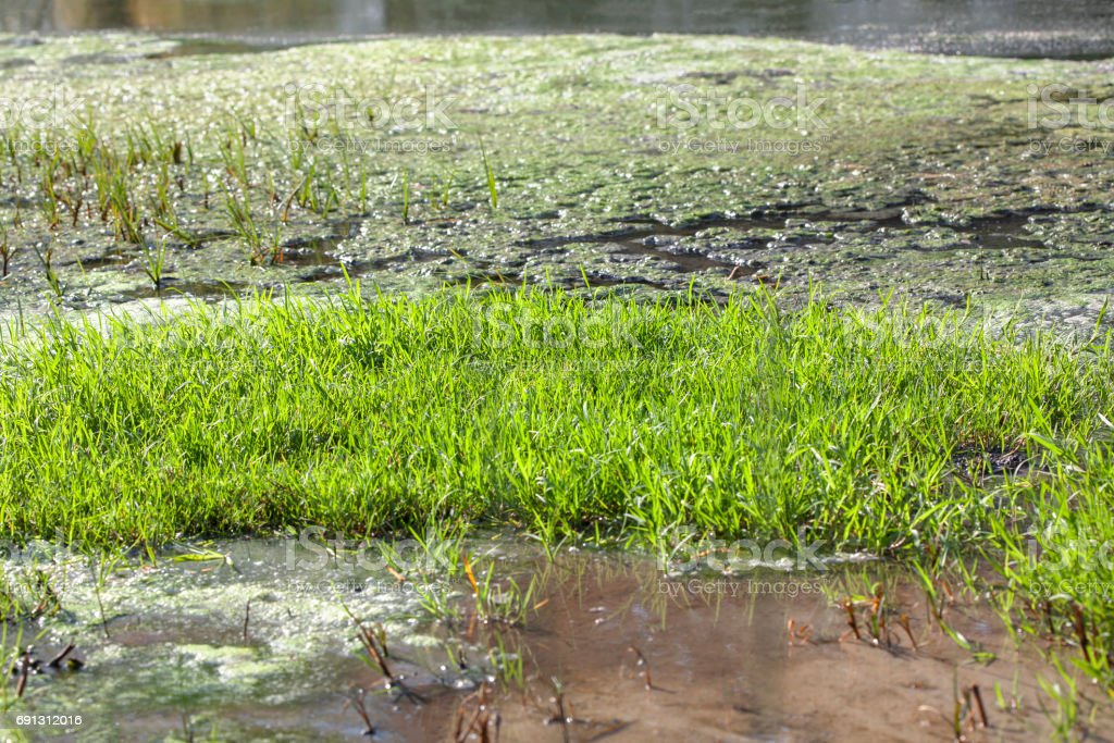 swamp with reed on surface stock photo