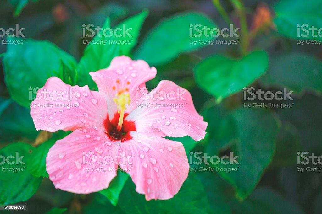 Swamp-rose mallow [Hibiscus moscheutos] stock photo
