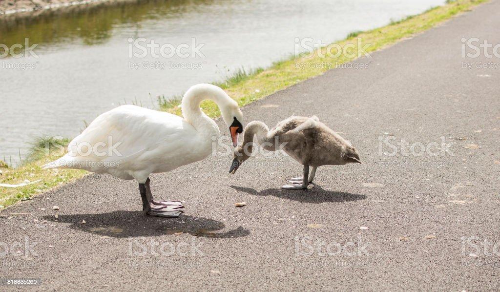 Swan and Cygnet stock photo