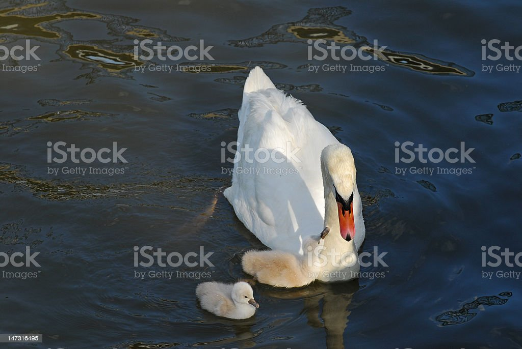 Swan and two cygnet royalty-free stock photo