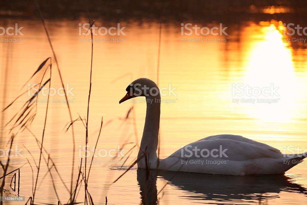Swan at dusk royalty-free stock photo