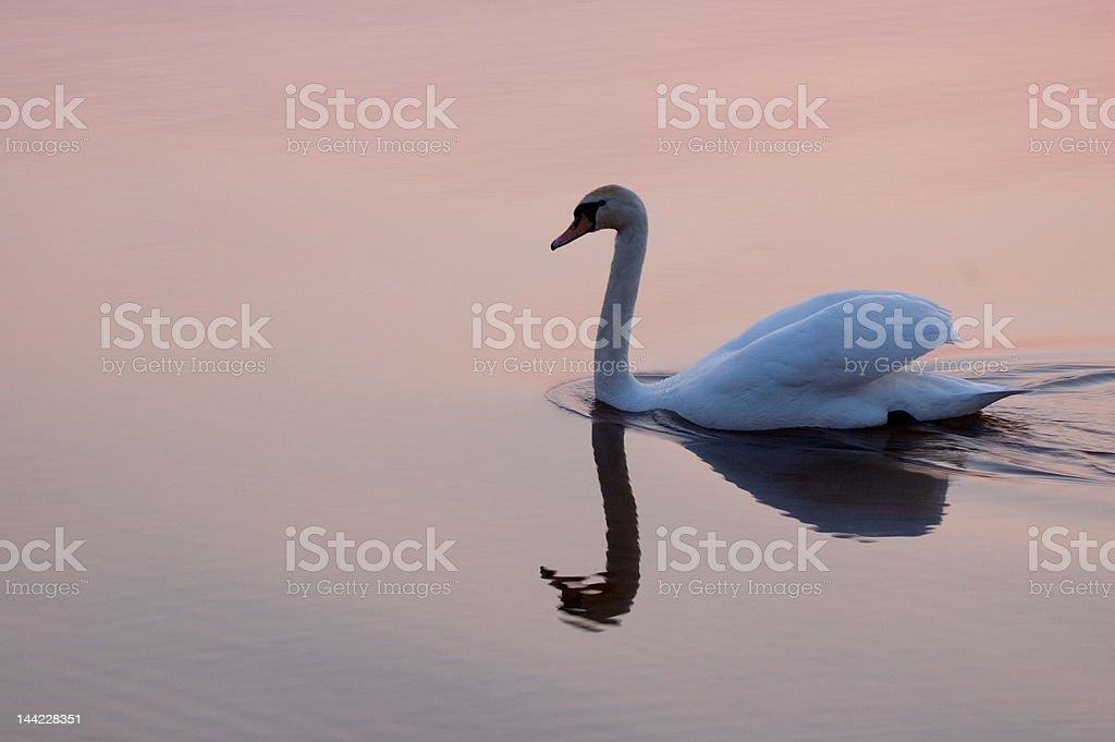 Swan at sunset 7785 royalty-free stock photo