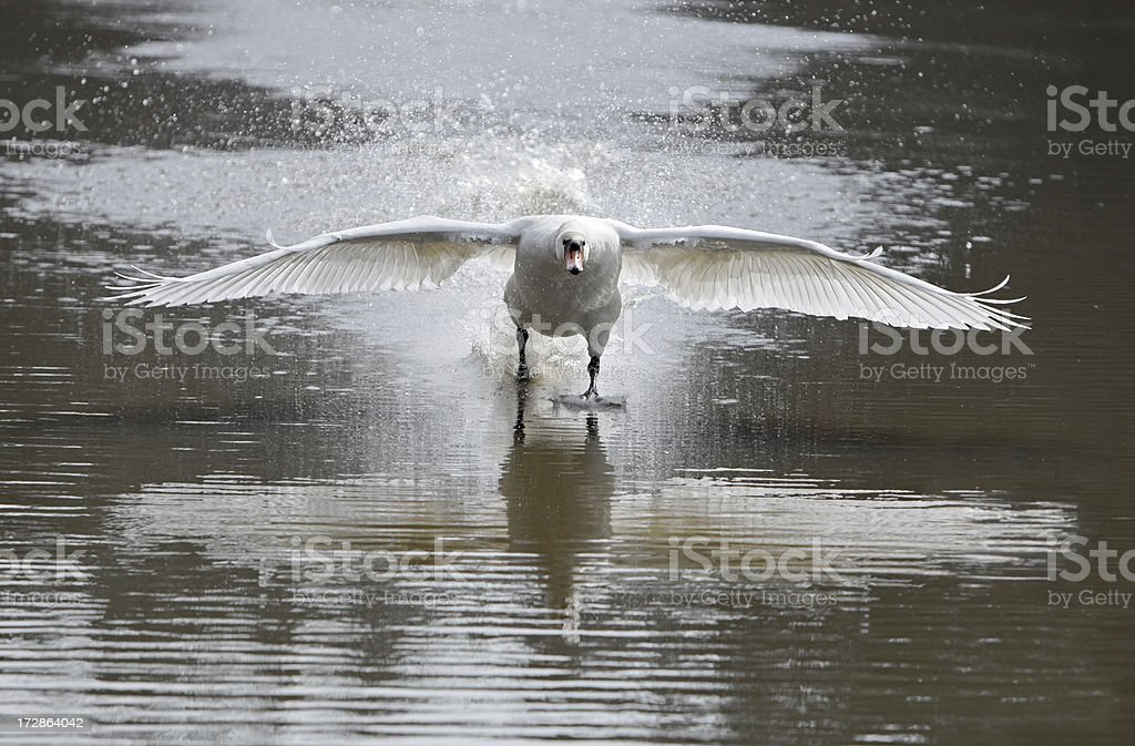 Swan Attack royalty-free stock photo
