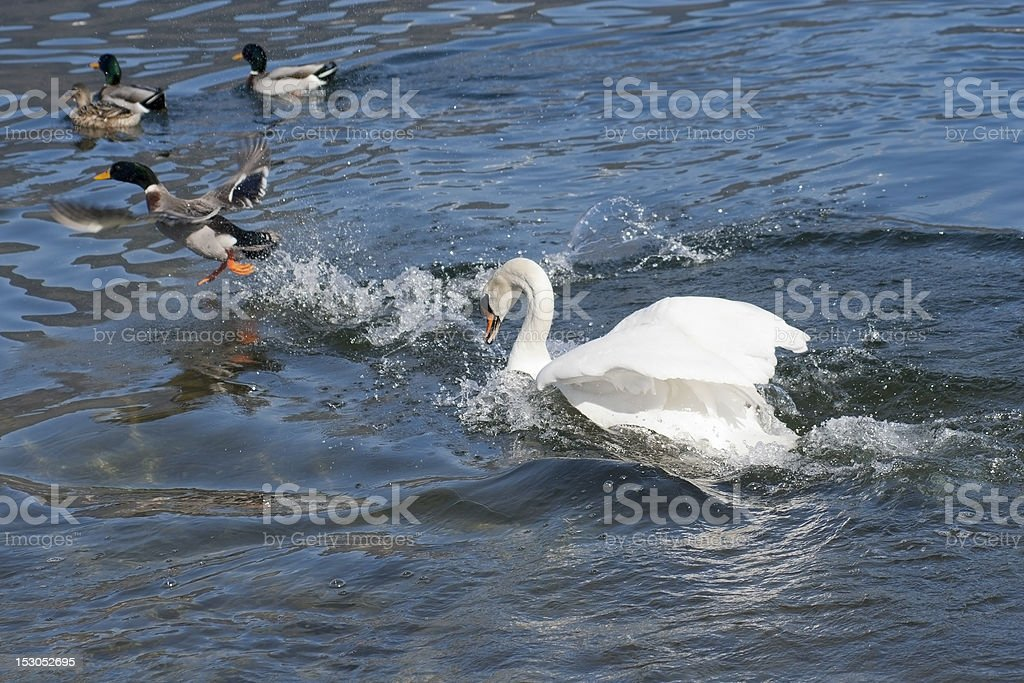 Swan attacks wild ducks at Caldonazzo lake royalty-free stock photo