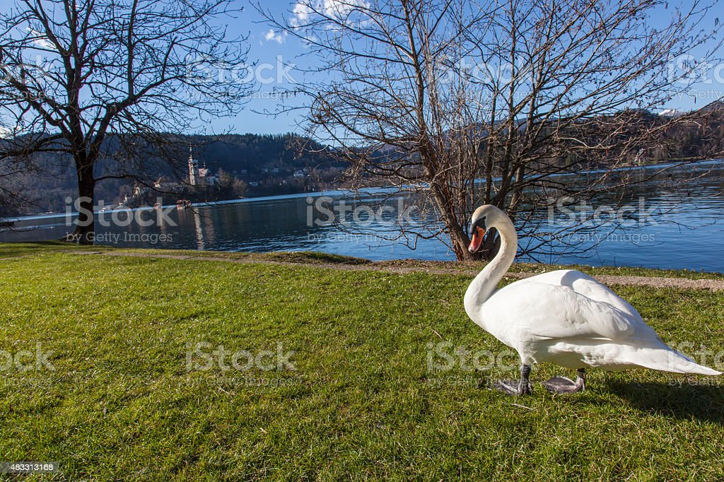 Swan by the lake stock photo