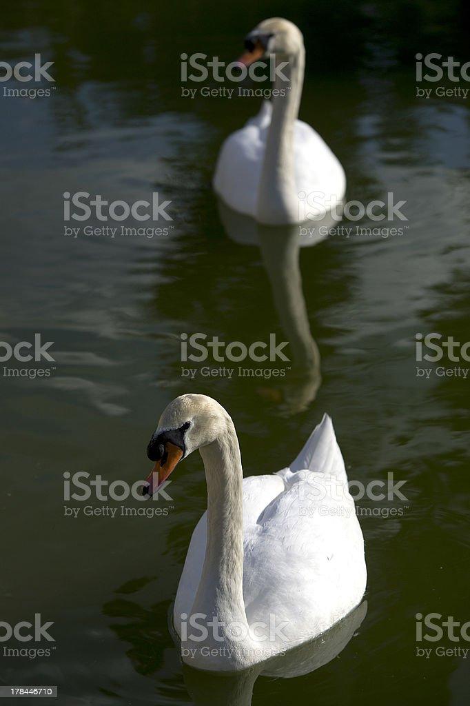 Swan / Cisne royalty-free stock photo