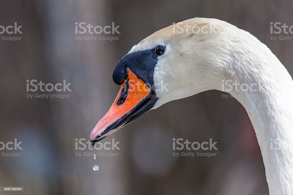 Swan close up in profile. stock photo