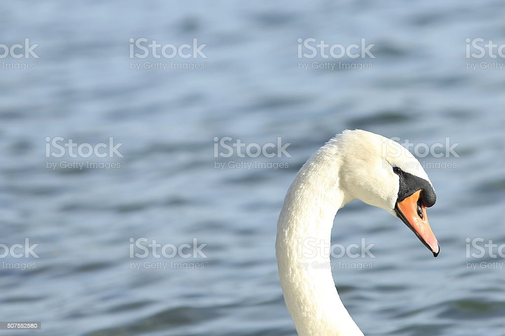Swan Close-up stock photo