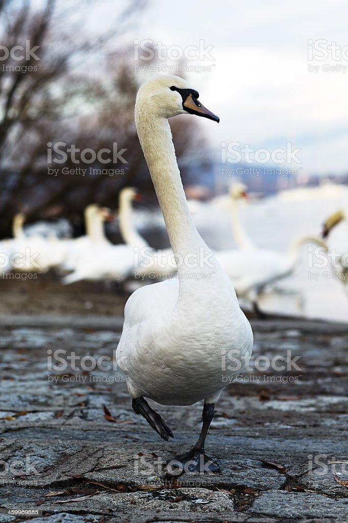 Swan. Color Image stock photo