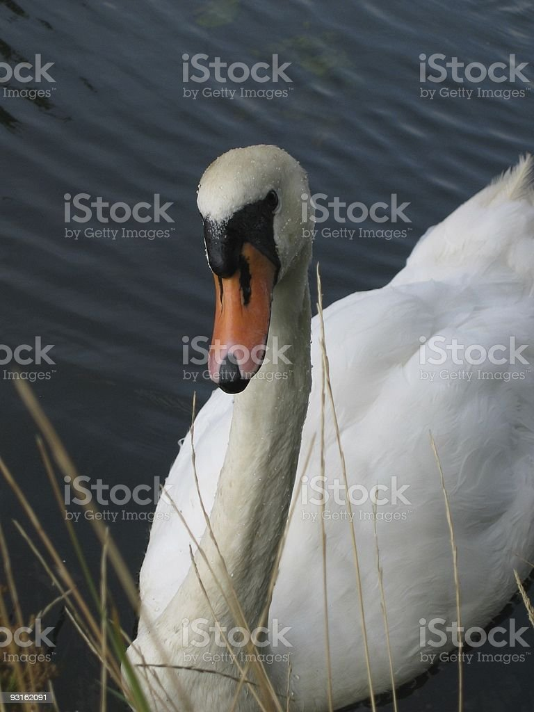 Swan coming to say hello stock photo