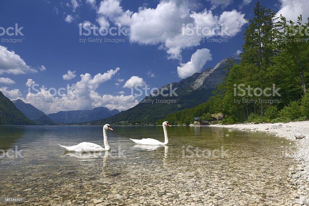 Swan Couple, Lake Grundlsee, Salzkammergut, Austria stock photo