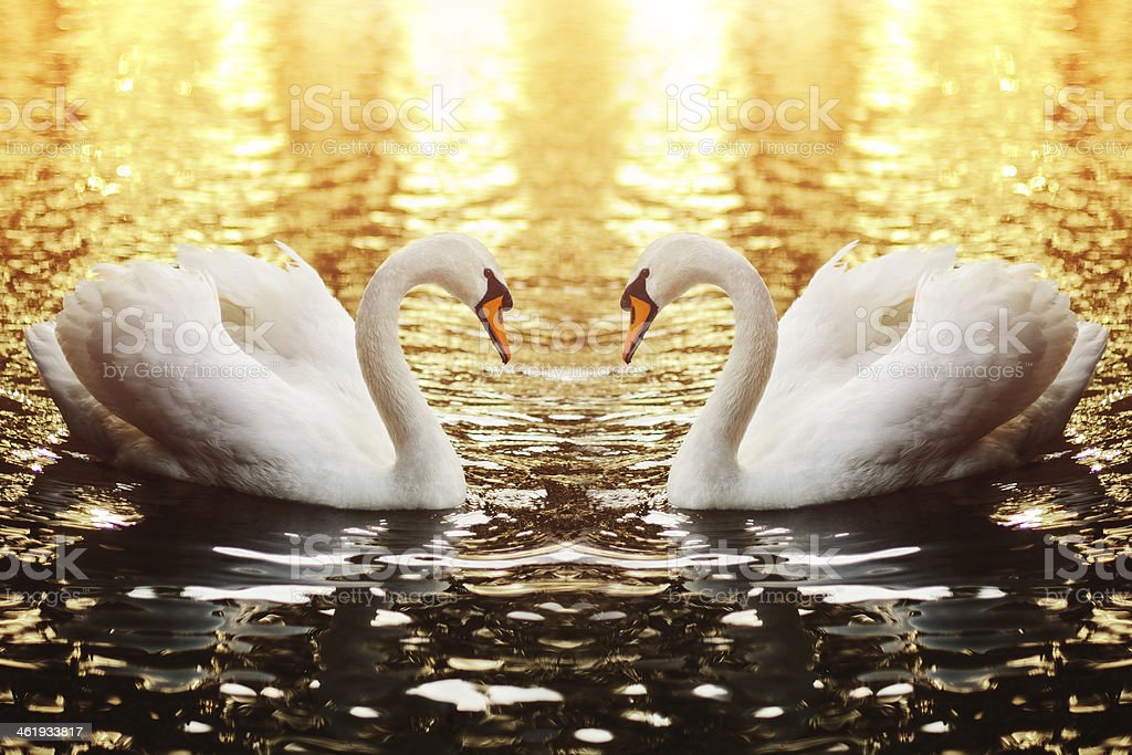 Swan couple swimming in the lake at sunset stock photo
