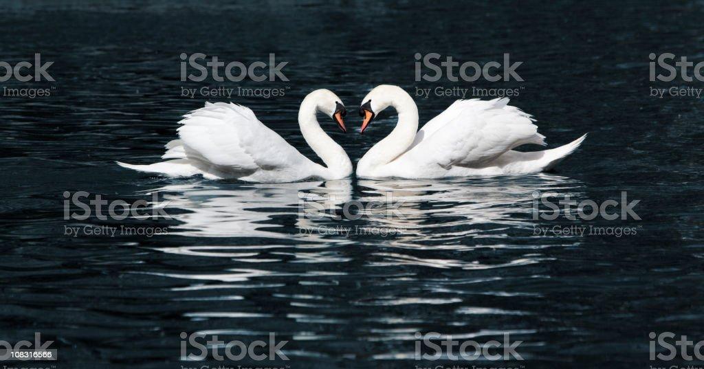 Swan dance in a lake stock photo