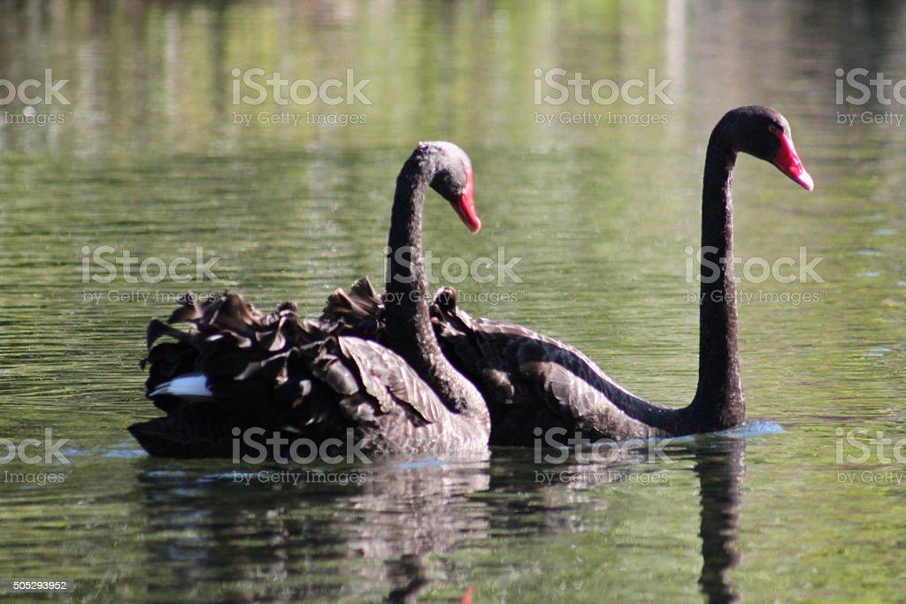 Swan Date stock photo