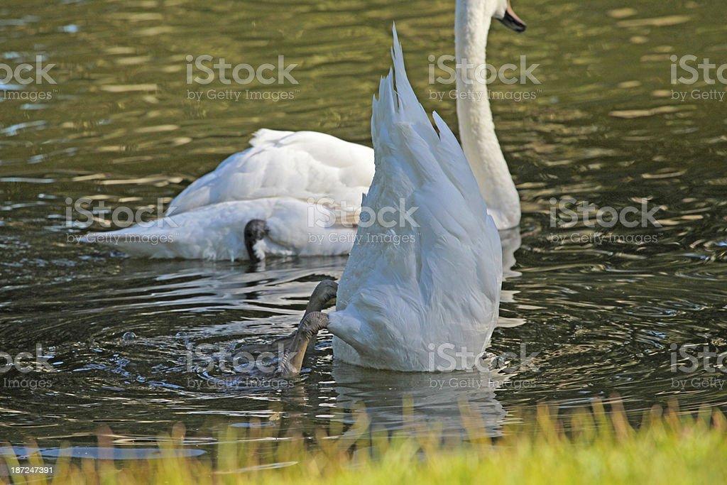 Swan Dive stock photo