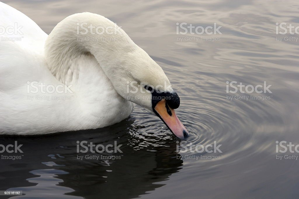 Swan Drinking royalty-free stock photo