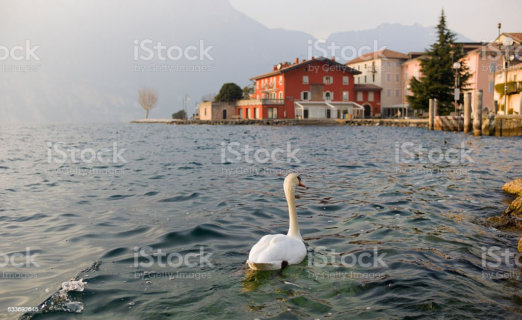 Swan Exploring the World stock photo