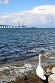 Swan family and Öresund Bridge, Sweden Baltic Sea