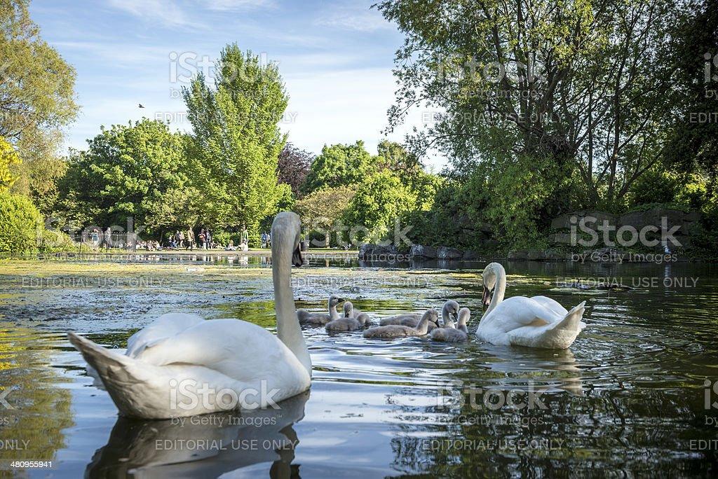 Swan family at St Stephen's Green in Dublin, Ireland stock photo