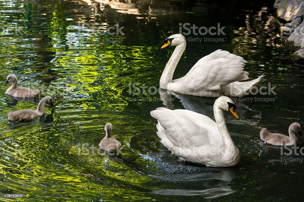 Swan family floating on pond surrounded by trees. stock photo