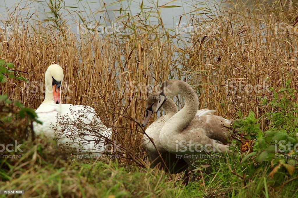 Swan family in winter stock photo