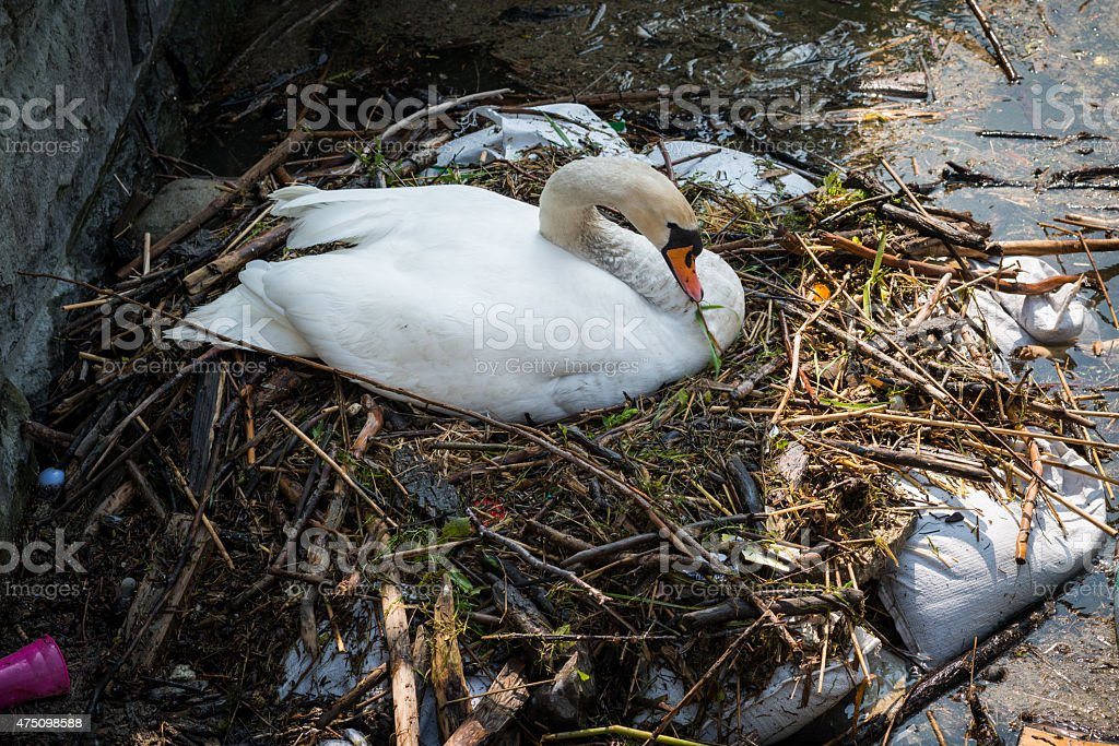 swan family nesting - environmental pollution stock photo