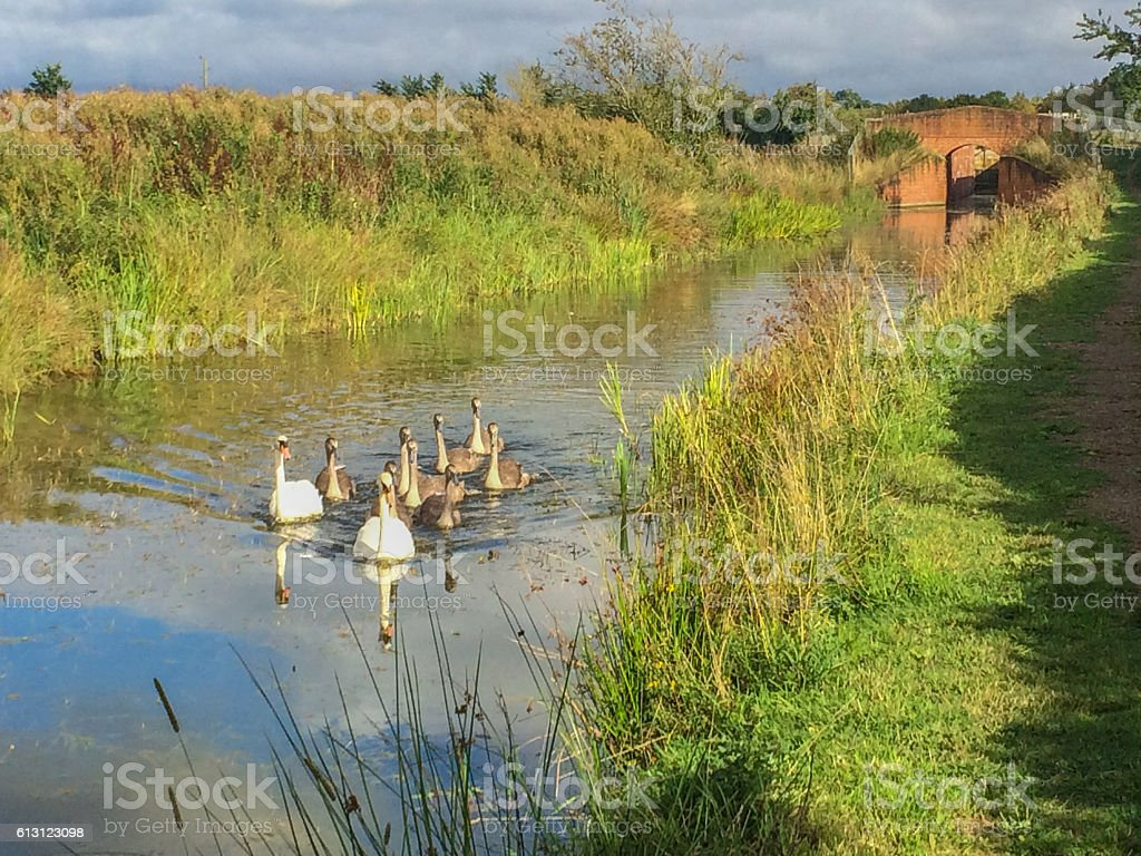 Swan Family on Canal stock photo