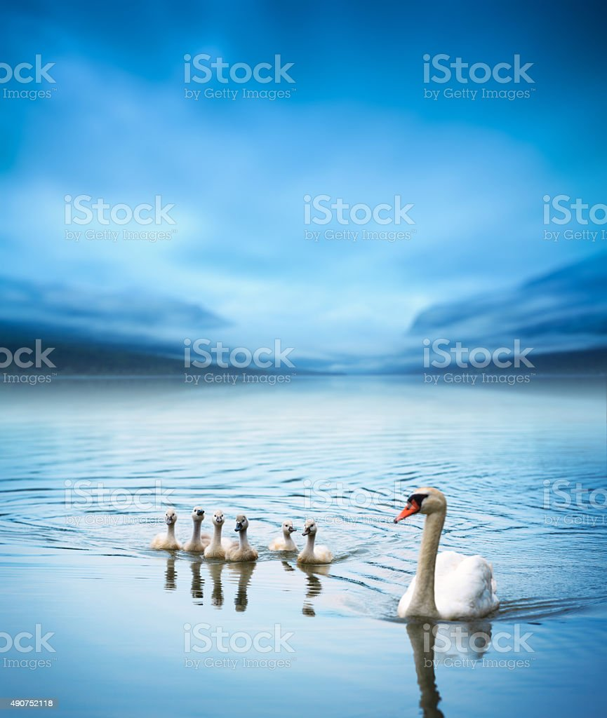 Swan Family On The Lake stock photo