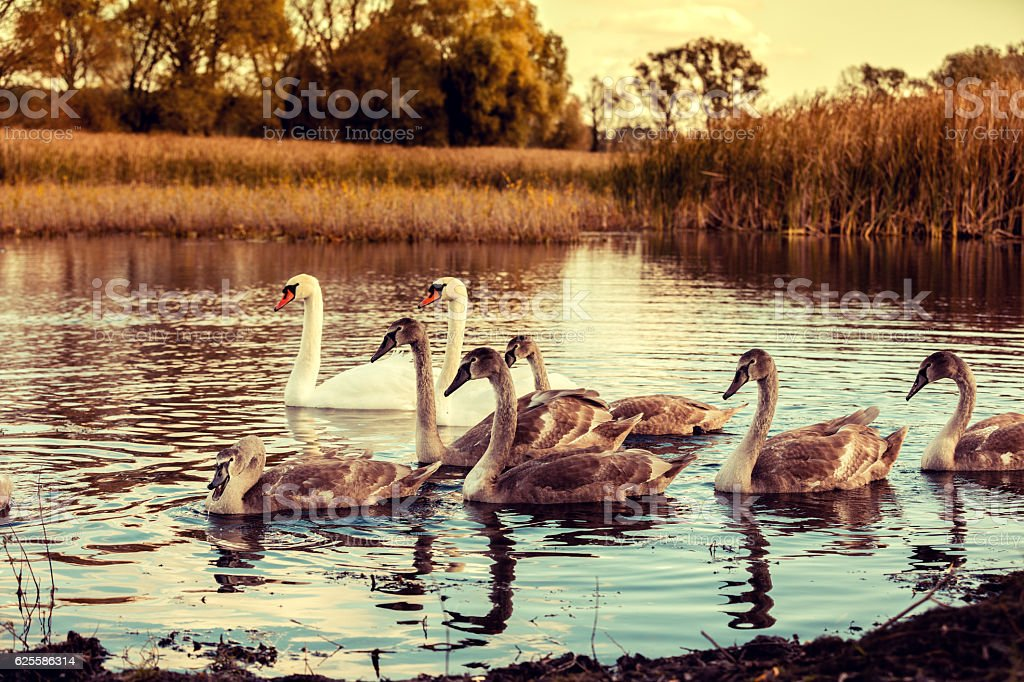 swan family swimming at pond in sunrise stock photo