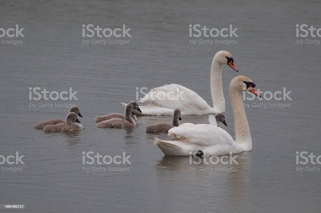 swan family with chicks royalty-free stock photo