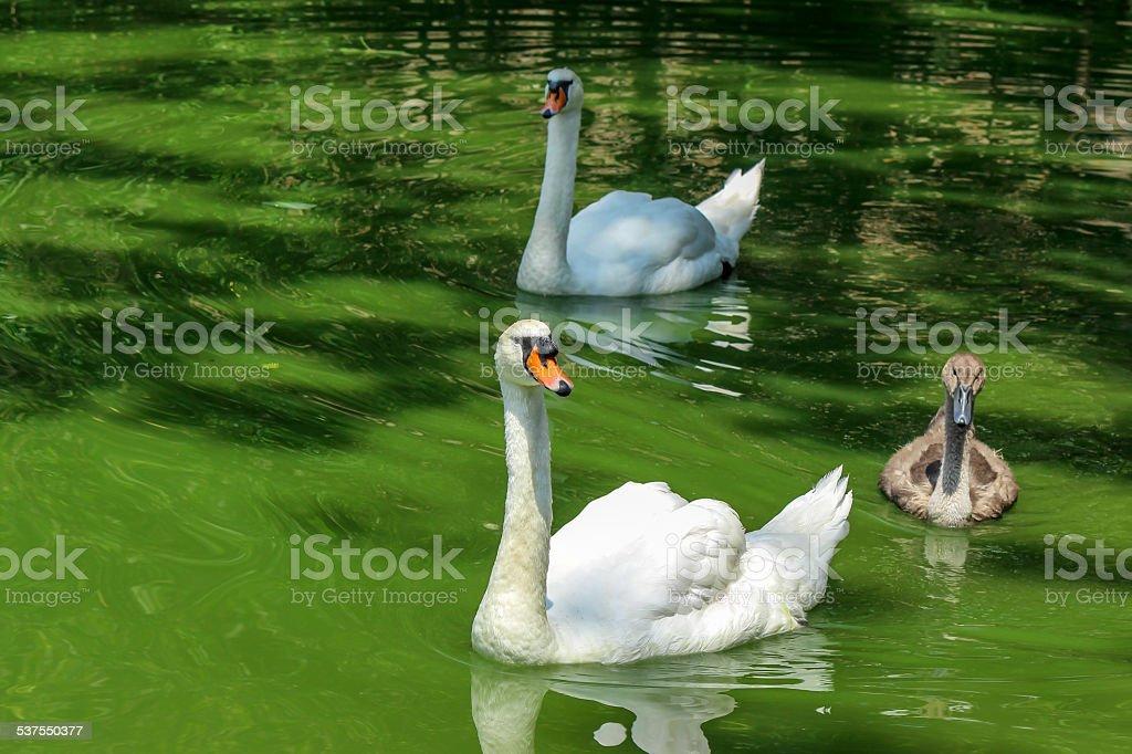 Swan fammily swimming on lake stock photo