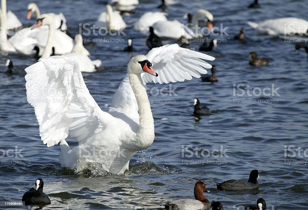 Swan finery stock photo