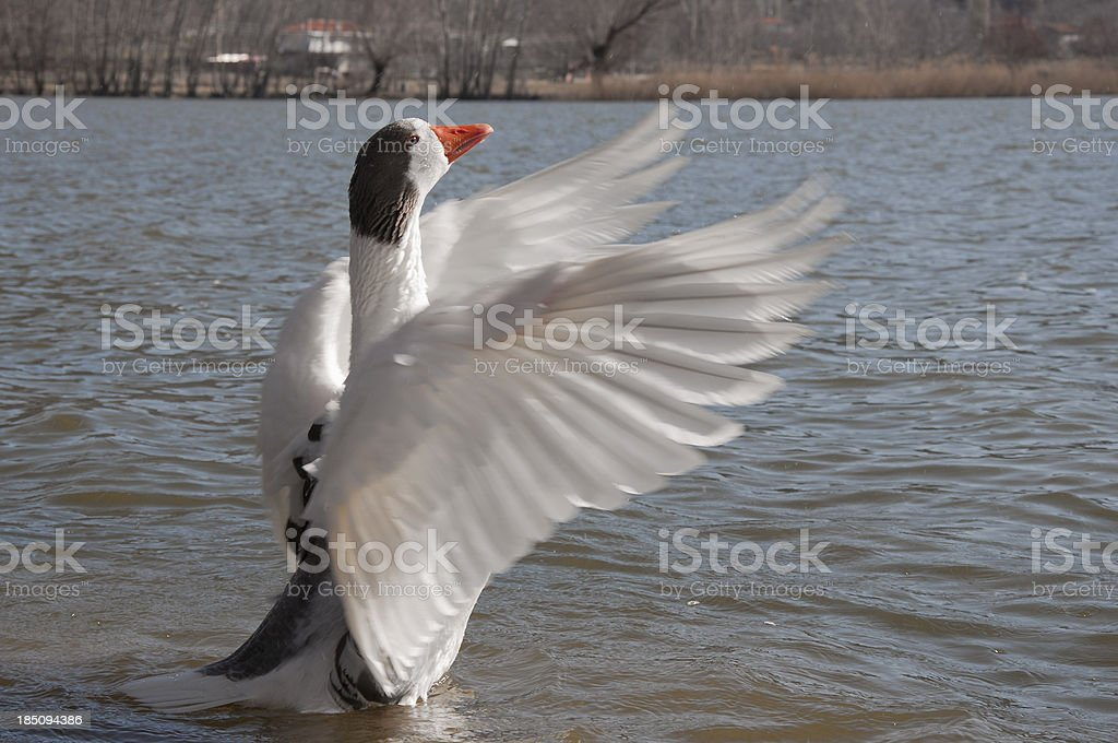 Swan flapping wings stock photo