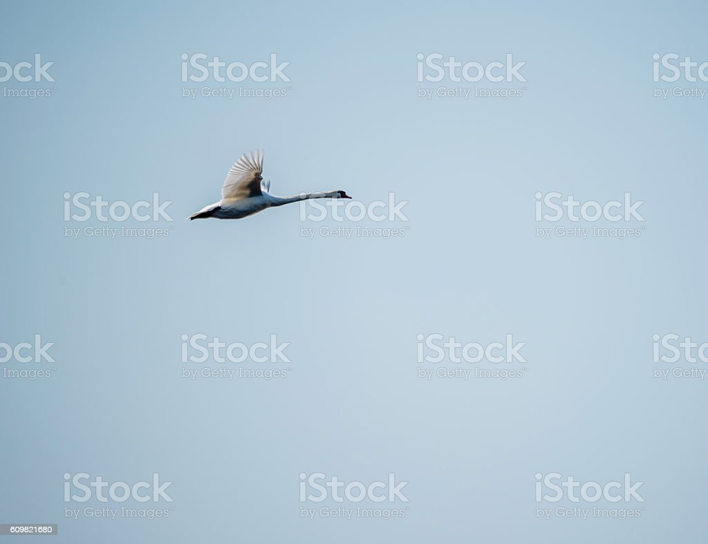 Swan Flying in Clear Blue Sky stock photo