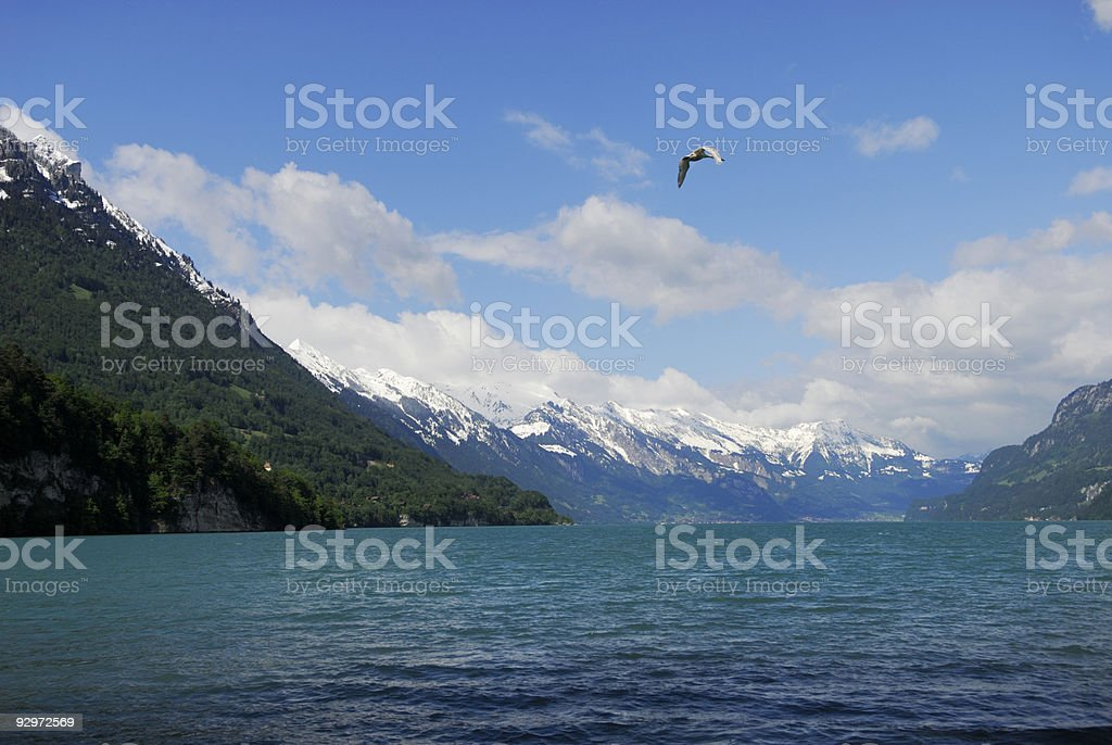 Swan flying over a lake in Swiss Alps royalty-free stock photo