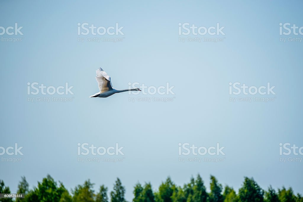 Swan Flying over Lielupe River, Latvia stock photo